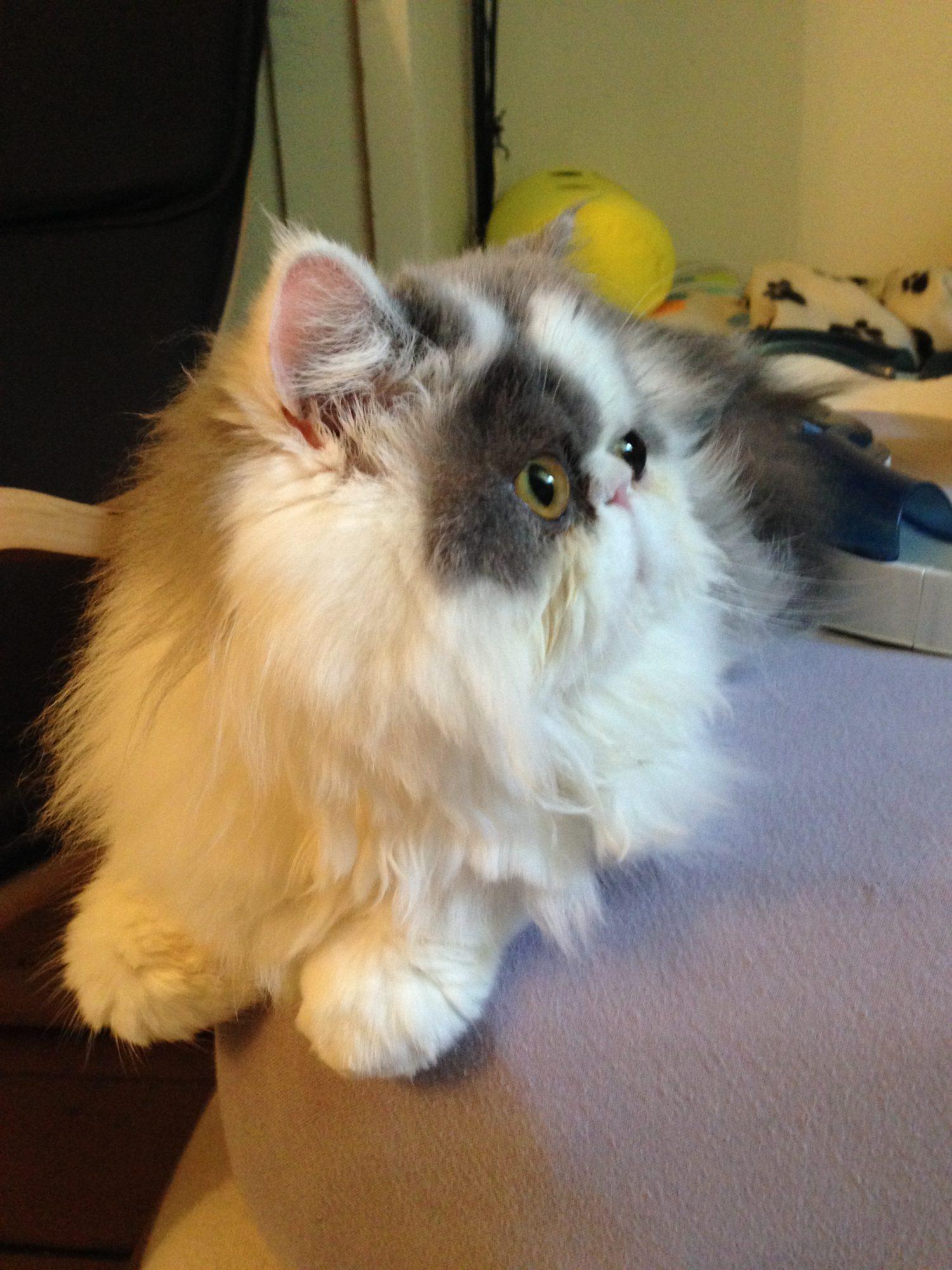 ancien-chaton-yseult