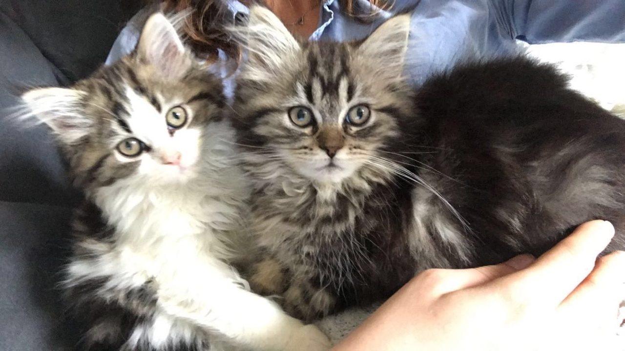 asgard ancien chaton Sol & Kelda