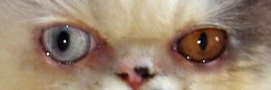 yeux-vairon